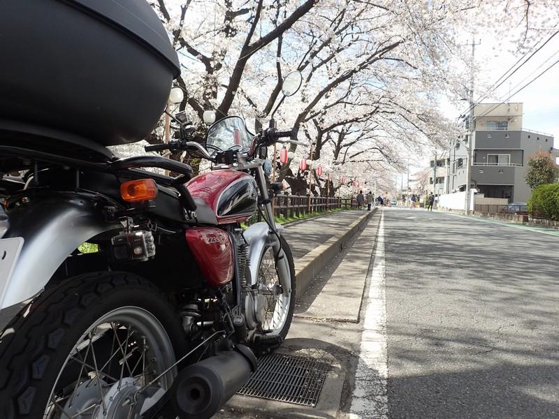 CB223Sで桜を見に行く【川越・新河岸川・伊佐沼は桜満開】